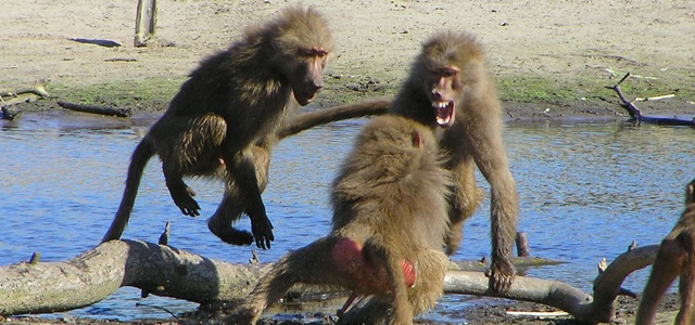 baboon argument